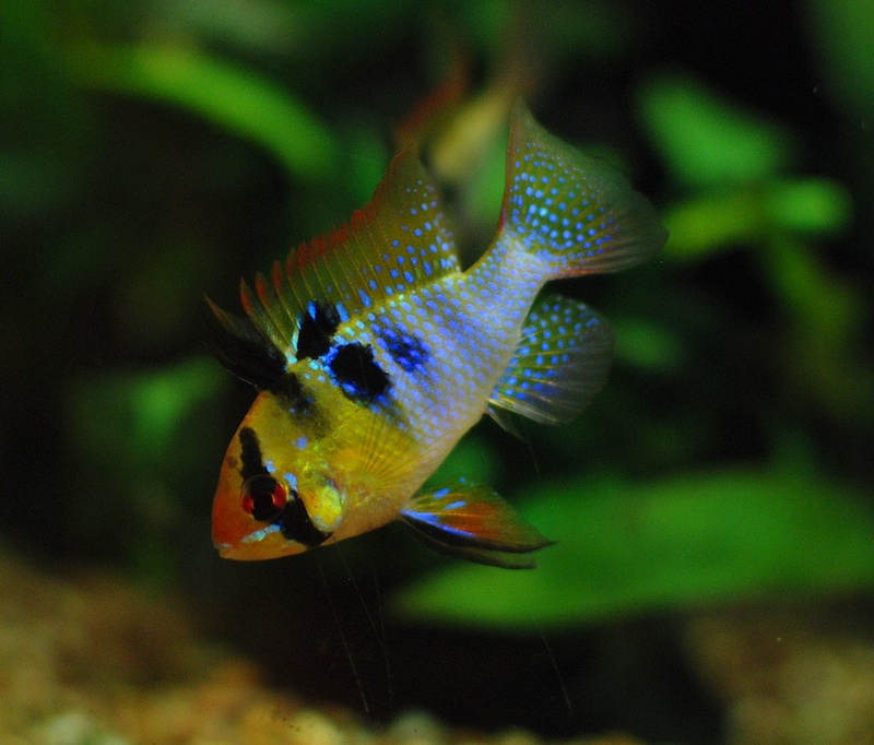 Small freshwater images for Small freshwater aquarium fish
