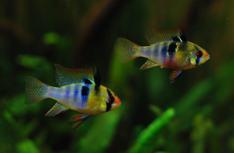 Cichlid Forum My German Blue Rams Pics